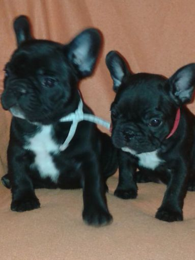 Z Gallerie Bulldog Vand bulldog francez!!...